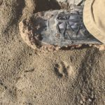 wild cat tracks in comparison to man foot