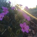 desert 4 o' clock flowers colorado