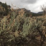 fresh sage bushes low clouds in no thoroughfare canyon from echo canyon trail colorado national monument